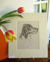 English Setter - head 1930's print by Lucy Dawson - Set D2
